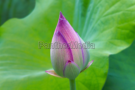lotus bud fujian province china