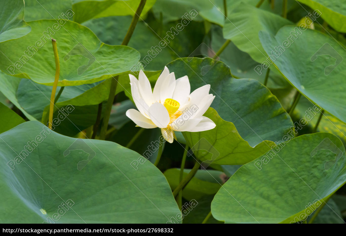 lotus, flower, , china - 27698332