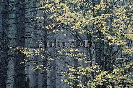 usa michigan upper peninsula yellow maple