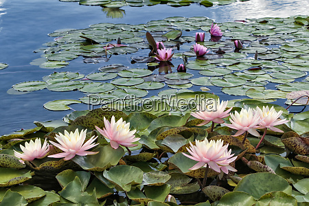water lily and lily pads como