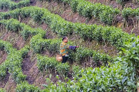 woman picking tea leaves at tea
