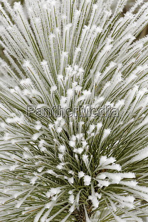 pine bough with heavy frost crystals