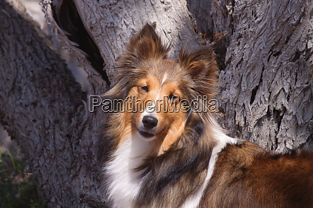 shetland sheepdog portrait pr
