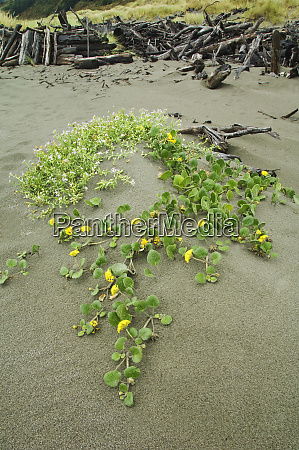 usa oregon flowers grow in sand