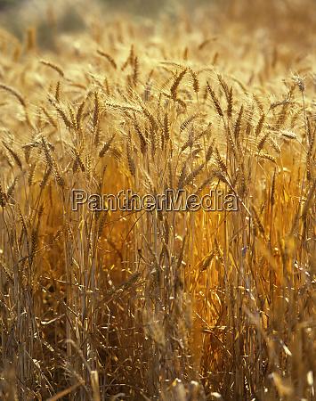 usa oregon willamette valley wheat stalks