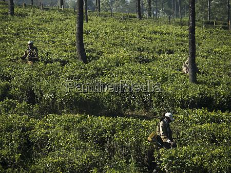 tea estate worker working on tea