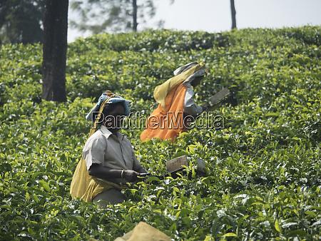 tea estate workers in fields in