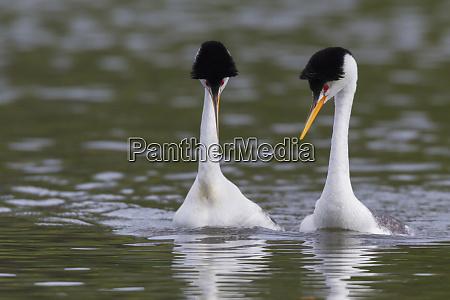 clarks grebe pair courtship