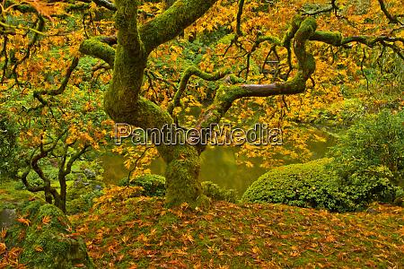 japanese maple in autumn portland japanese