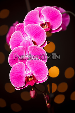 usa oregon keizer cultivated orchid