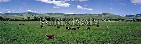 usa oregon prairie city cattle graze