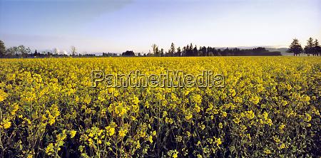 usa oregon willamette valley canola blossoms