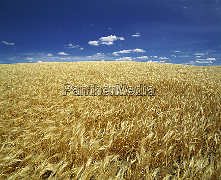 usa oregon ripe wheat blows in