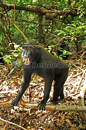 asia indonesia sulawesi crested black macaque