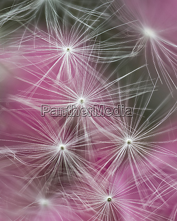 dandelion seeds with feathery tentacles and