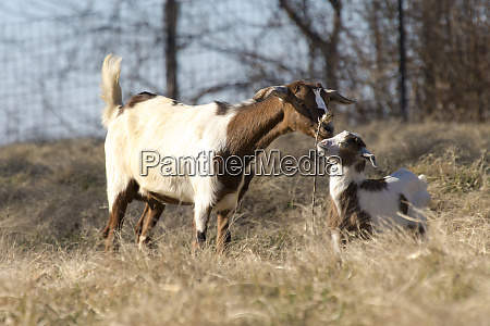 usa tennessee domestic goat and kid