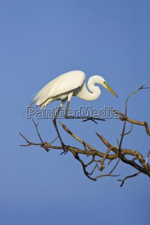usa texas high island great egret