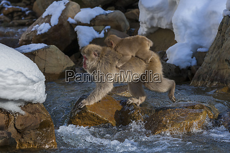 japanese macaque japanese alps honshu island