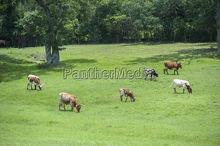 texas longhorn steer round top texas