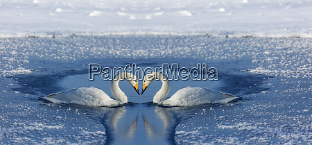 whooper swans bill to bill on