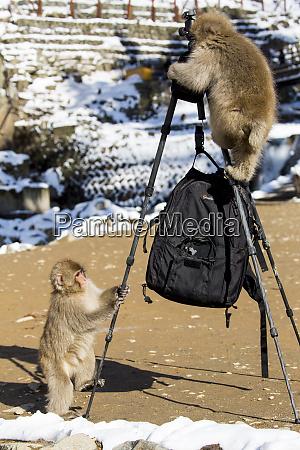 snow monkeys playing with tripod nagano