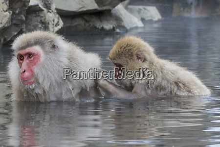 snow monkeys nagano japan