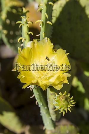 usa austin texas spineless prickly pear