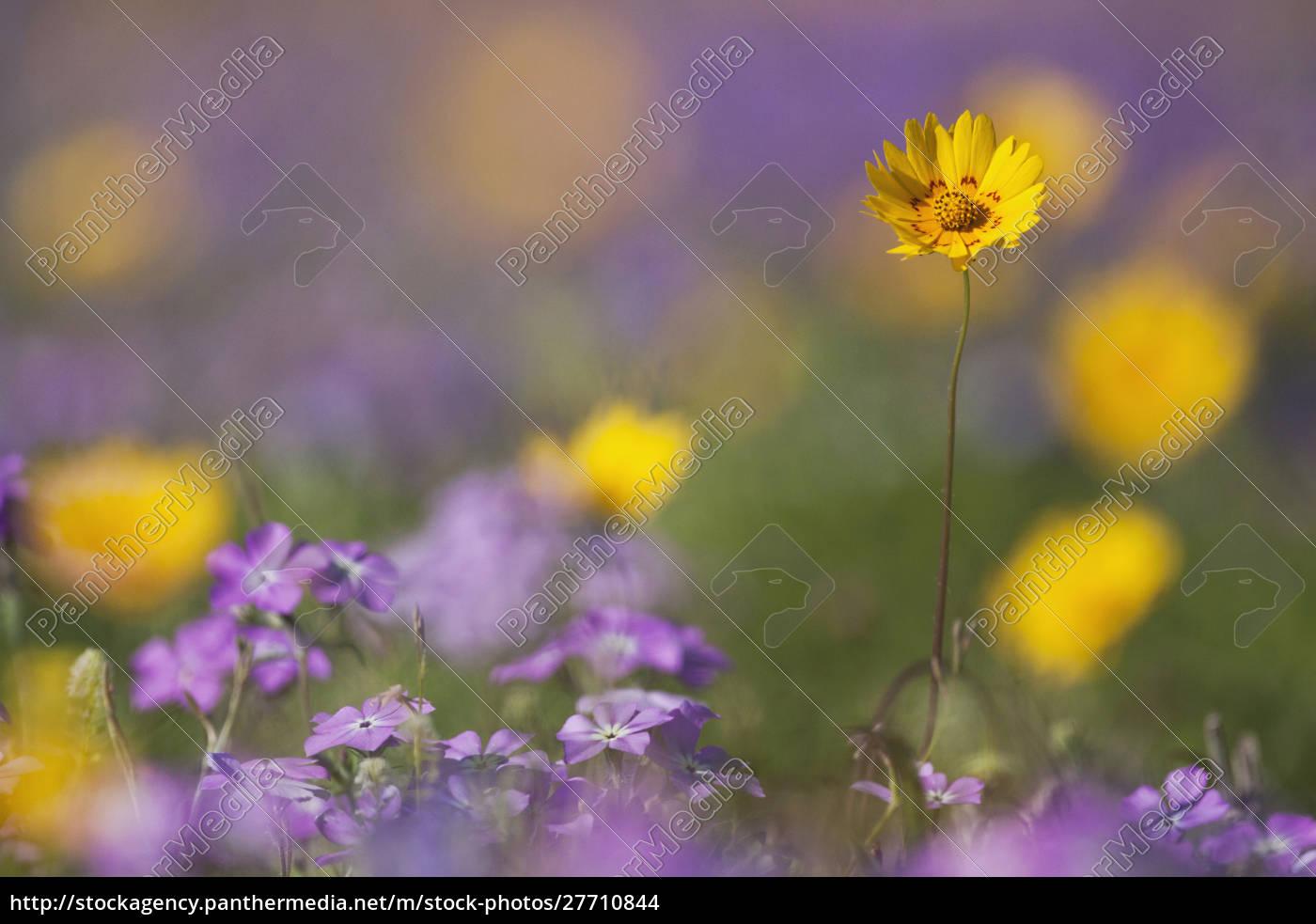 roadside, wildflowers, in, texas, , spring - 27710844