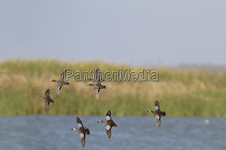 blue winged teal anas discors and