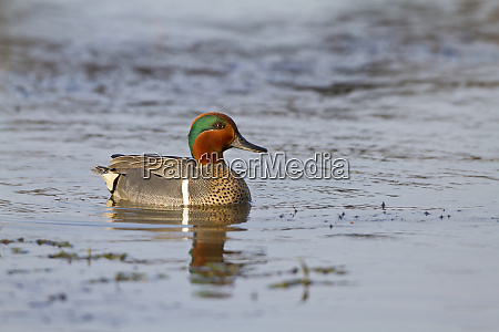 green winged teal anas crecca male