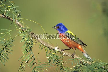 painted bunting passerina ciris male starr