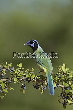 green jay cyanocorax yncas adult perched