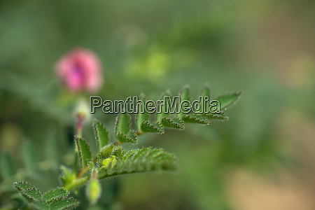 chickpeas flowers with green young plants