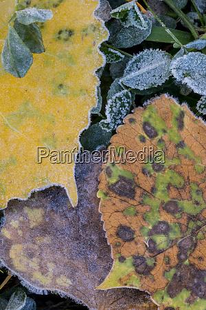 usa utah frost covered aspen leaves