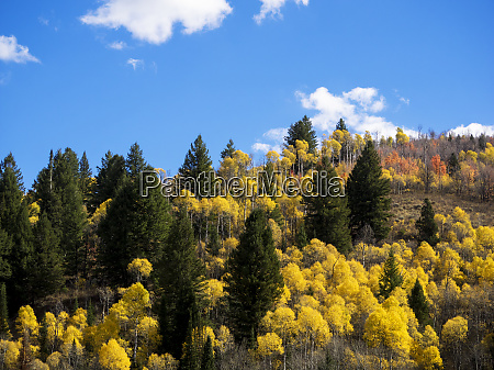 colorful aspens in logan canyon during