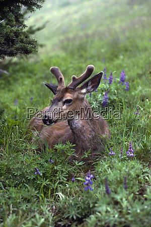 usa washington olympic national park deer