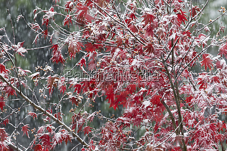 fresh snow fall on fall colored