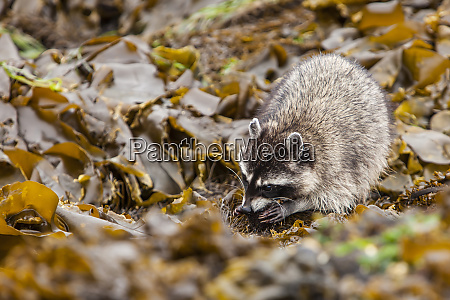 foraging raccoon and chiton catch at