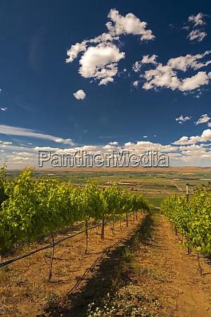 usa washington yakima valley vineyard ripens