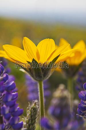 usa washington columbia gorge arrowleaf balsam