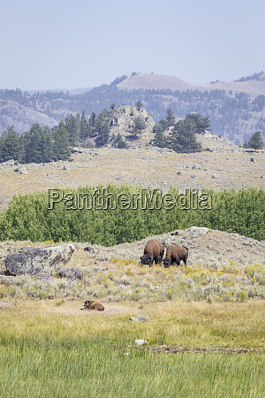 usa wyoming yellowstone national park buffalos