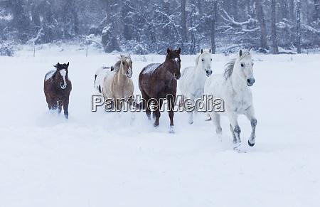 herd of horses in winters snow