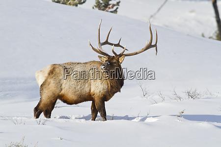 wyoming yellowstone national park bull elk