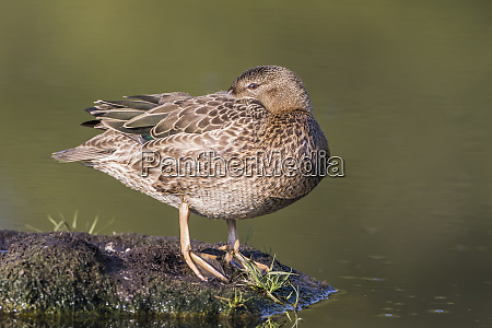 usa wyoming sublette county cinnamon teal
