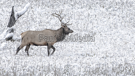 yellowstone national park wyoming bull elk