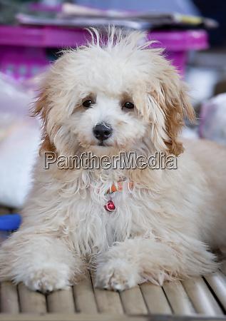 fluffy white dog thailand