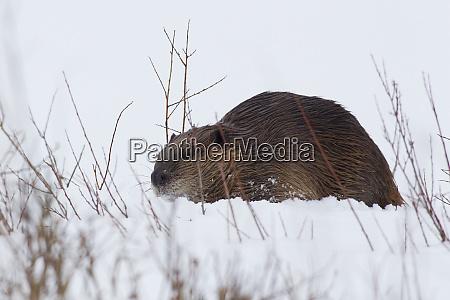 beaver gathering food in winter