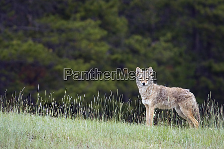 coyote late spring
