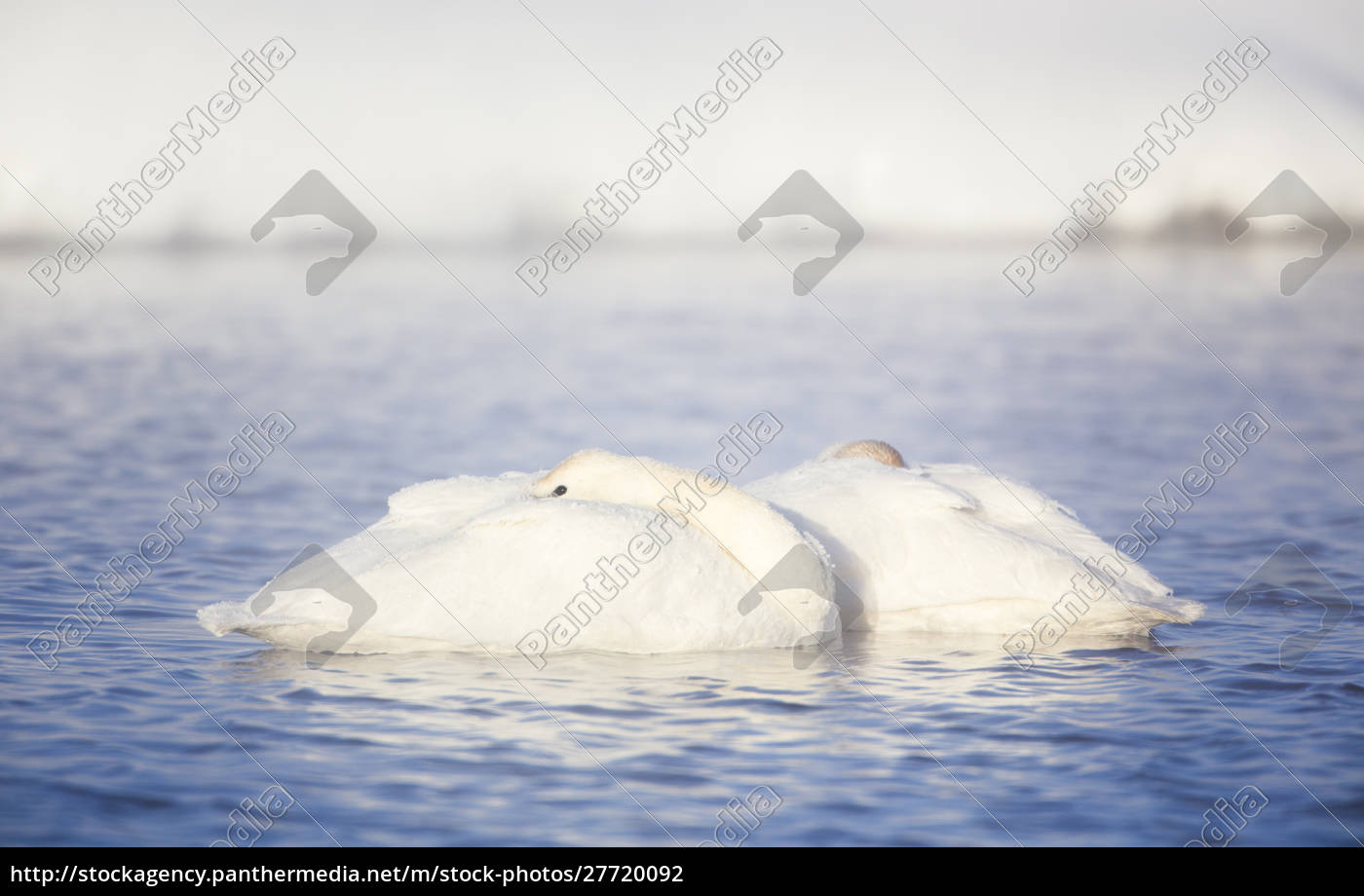 wyoming, , sublette, county, , frosty, trumpeter, swan - 27720092