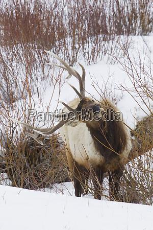 rocky mountain bull elk winter survival